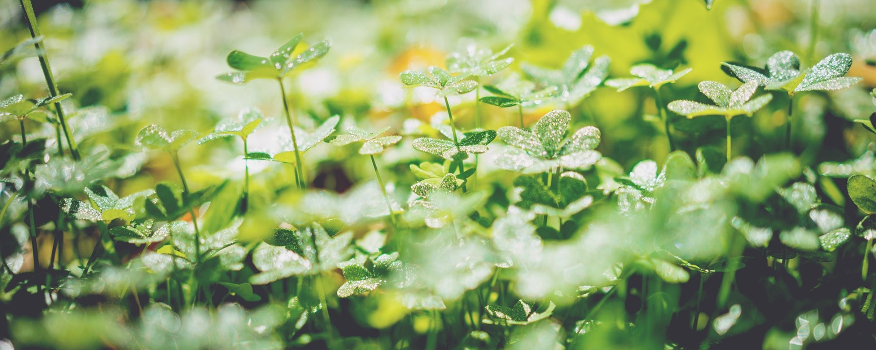 Shamrocks, Saint Patrick, beauty, spring, Irish