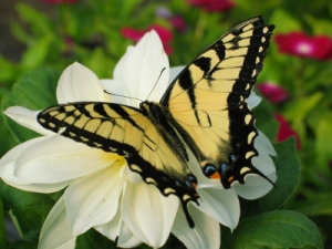 Tiger swallowtail white flower