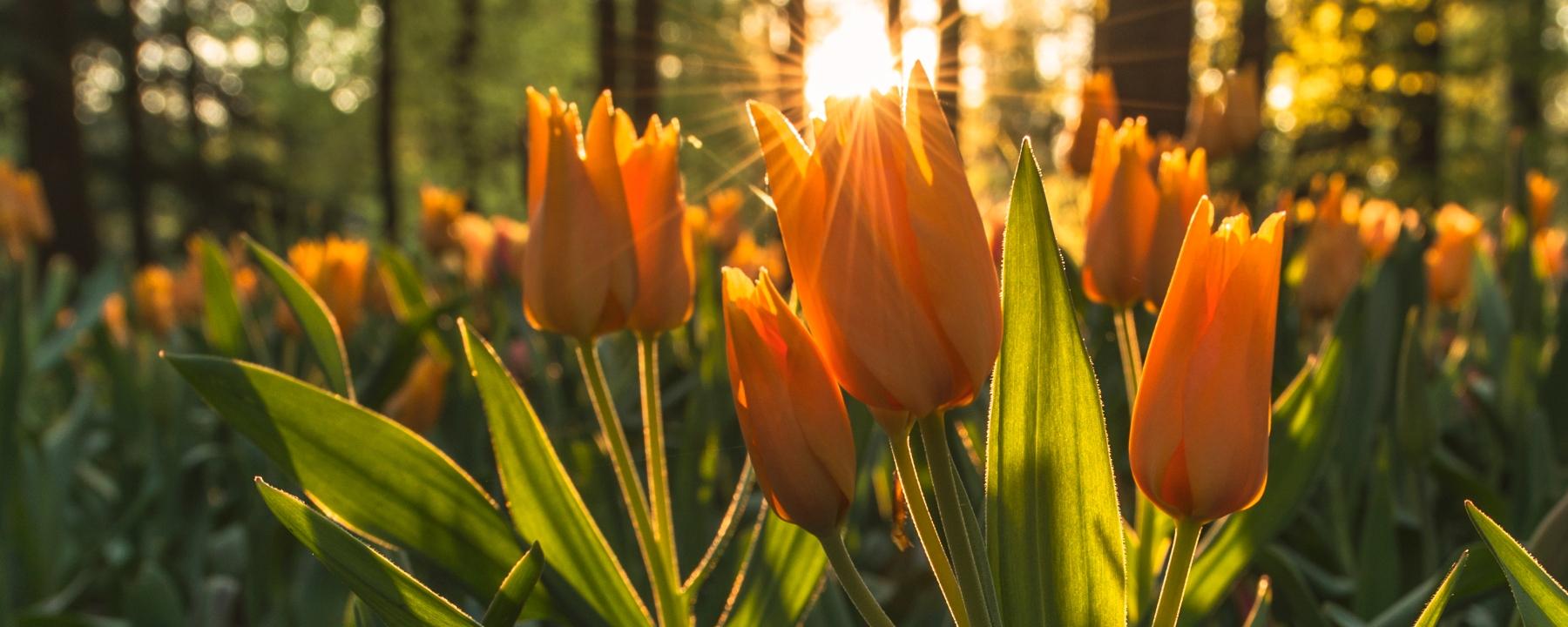 life of pix,, tulips