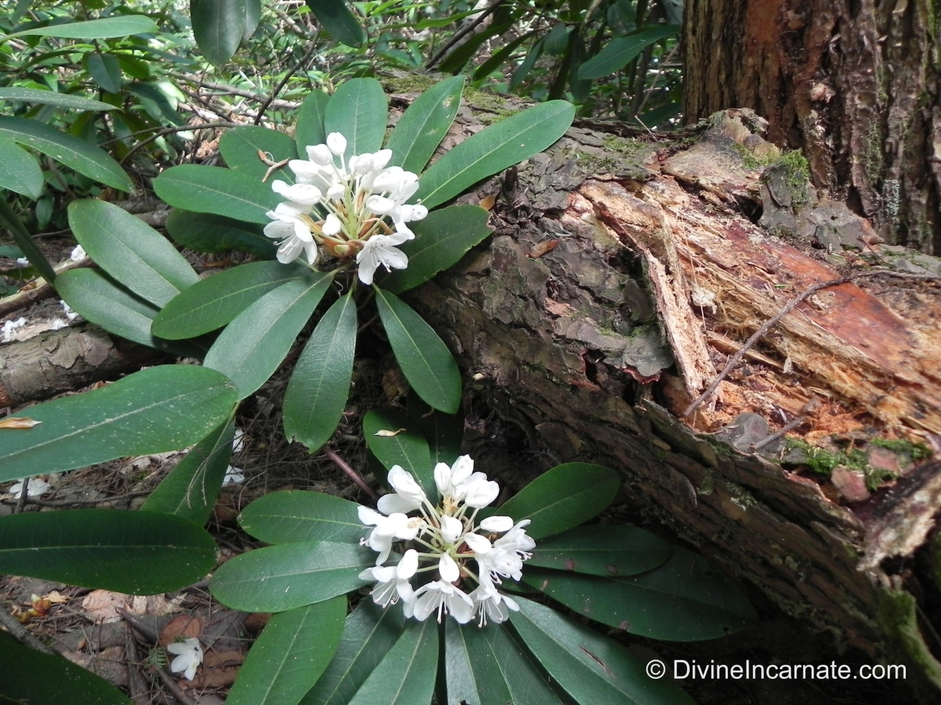 flowers, forests, rotting log, rhododendron