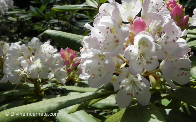 Rhododendrons, flowers