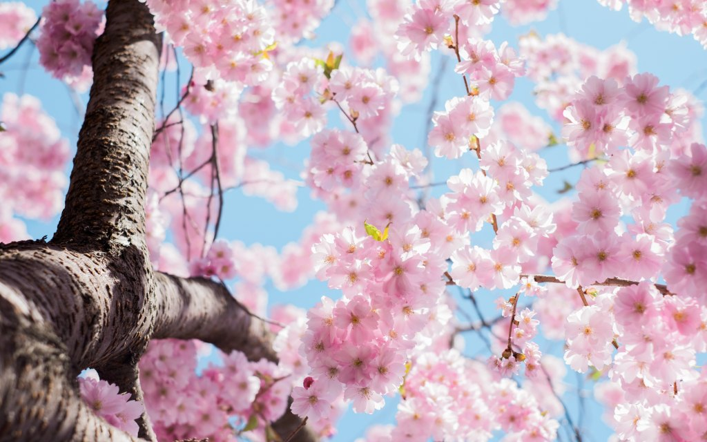Spring, Apple blossoms, cherry blossoms