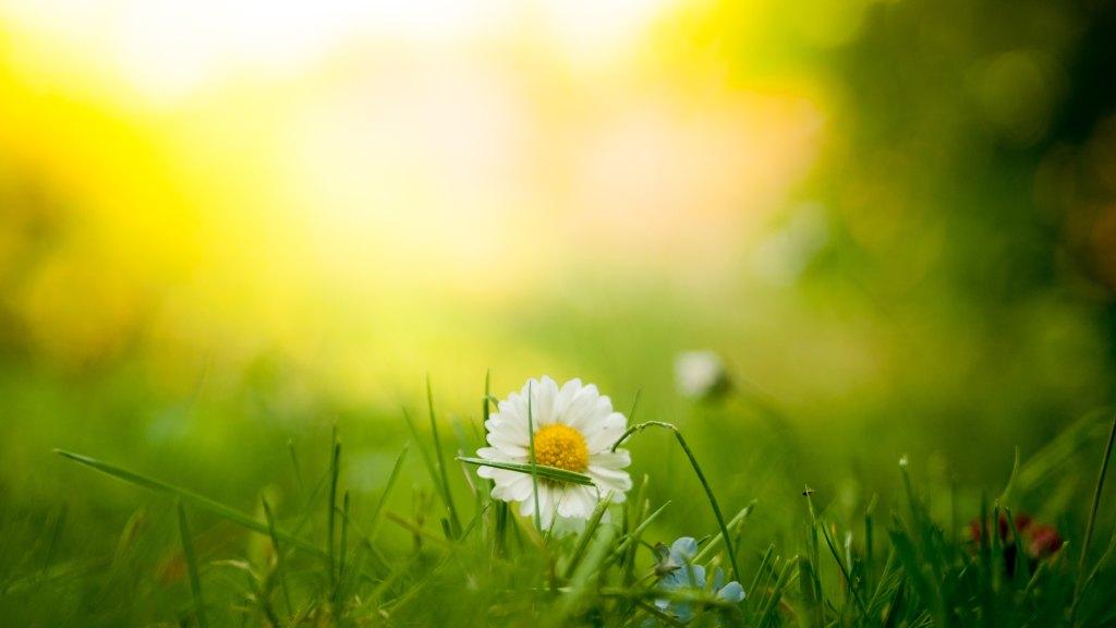Wildflowers, Meadow, Daisy