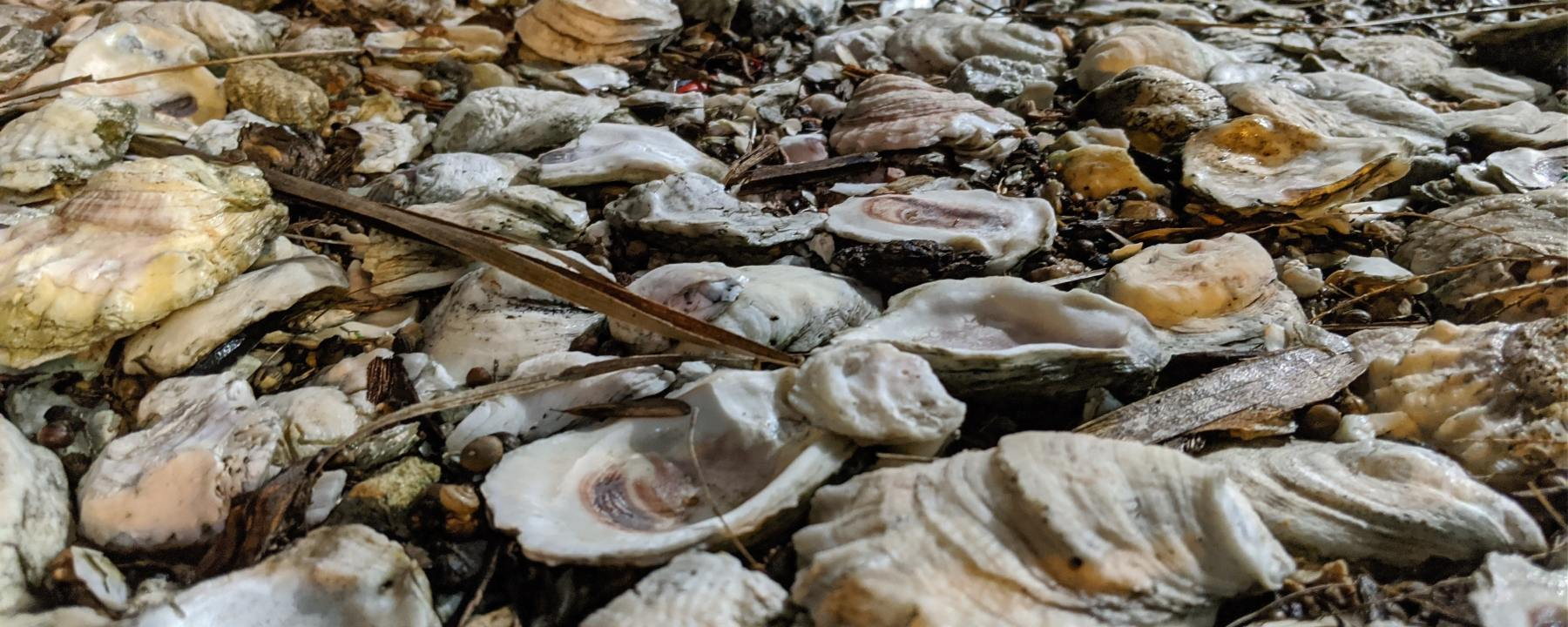 oyster shells pearls