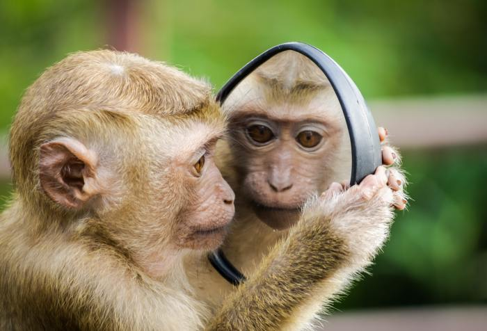 a monkey looking in the mirror at his own reflection