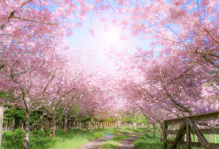 springtime in an orchard, a path beckons the viewer onward and the pink blossoms are infused with radiant sunlight