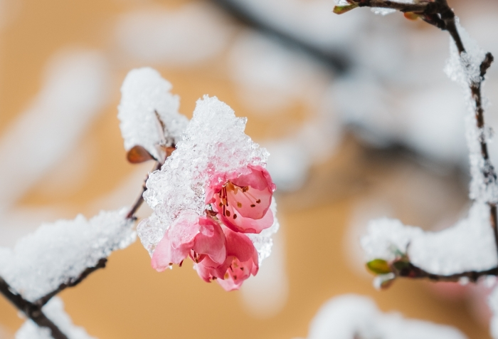 snow on an opening apple blossom