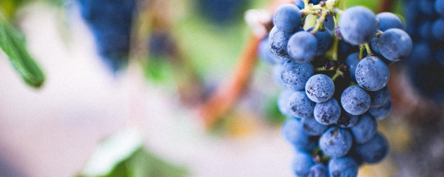 a cluster of grapes growing on a vine