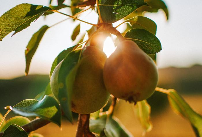 close-up of pear tree in the morning sun
